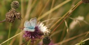 Luccombe Chalkhill Blue